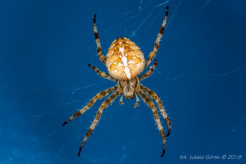 Krzyżak #pająk #makro
