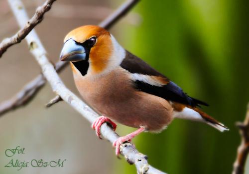 Grubodziób,- #grubodzioby #zięby #ptaki #zima #natura #fotografia #gile #modraszki #dzwonce alicjaszrednicka-mondritzki
