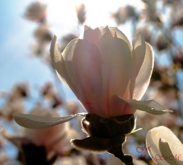 Magnolie.. #wiosna2019 #magnolie #natura #drzewa #kwiaty