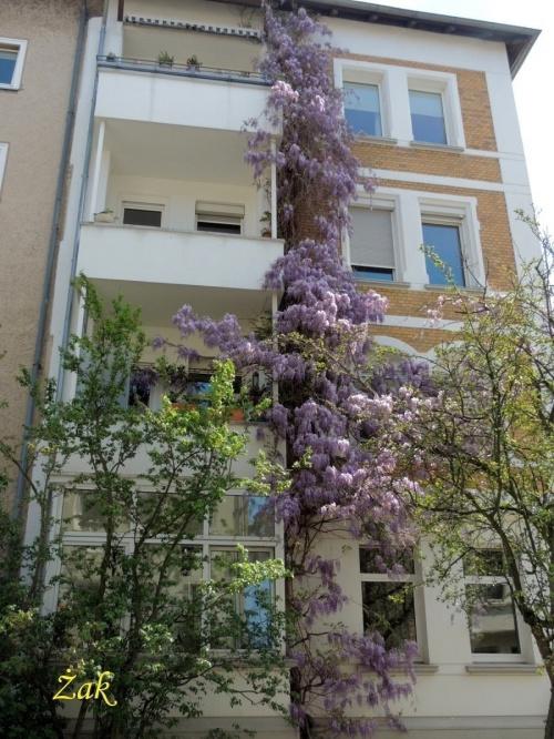 """1. Słodlin japoński, wisteria, glicynia (Wisteria floribunda) - drugi """"tasiemiec"""" sięga dachu ;-)"""