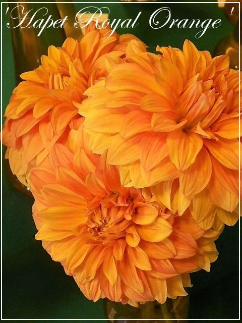 dahlia 'hapet royal orange'