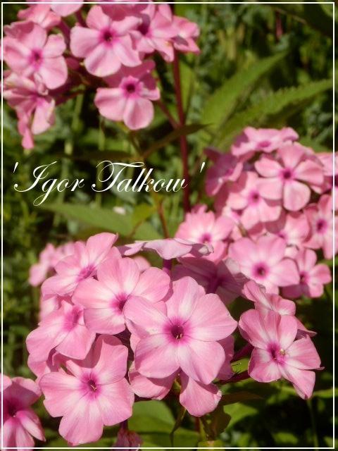 phlox 'igor talkow'