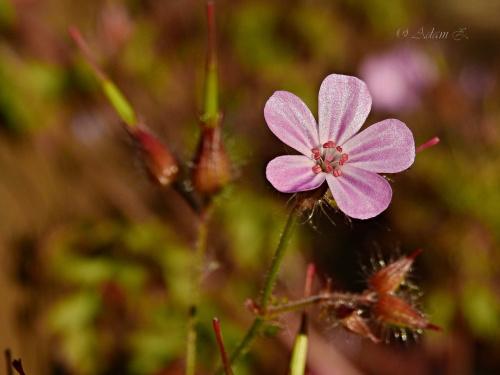 Bodziszek cuchnący / Geranium robertianum
