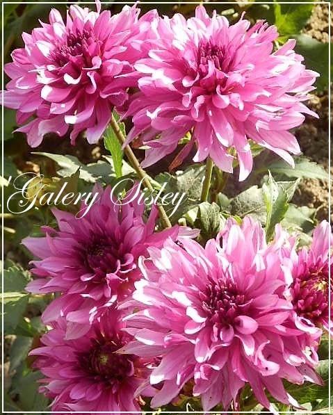 dahlia 'galery sisley'