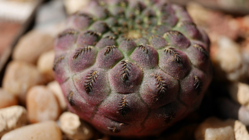 Sulcorebutia rauschii