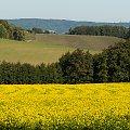 pola musztardy :)) czyli gorczysy /Senf/ #NRW #widokiNRW
