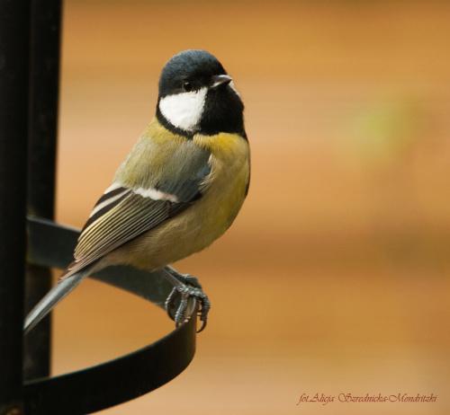 #ptaki #Fink #zieby #kowalik #rudzik