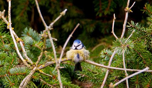 Modraszka #modraszki #zieby #ptaki