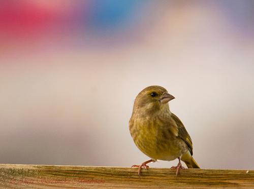 Dzwoniec.- #ptaki #natura #przyroda #dzwoniec