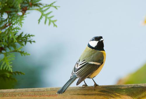 Bogatka,- #ptaki #natura #przyroda #bogatka #kohlmeise -
