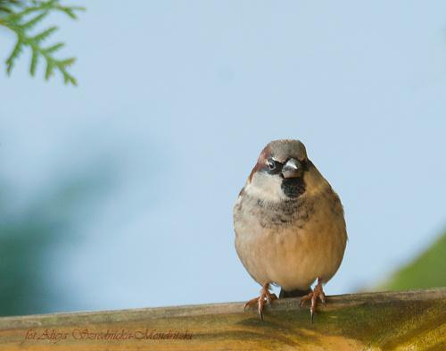 Wrobel.- #ptaki #buchfink #zieby #kowaliki #bogatki #natura #przyroda