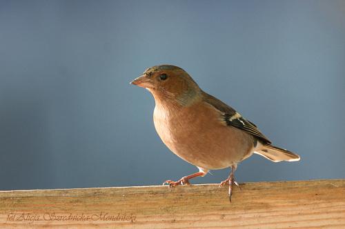 Zieba #ptaki #buchfink #zieby #kowaliki #bogatki #natura #przyroda