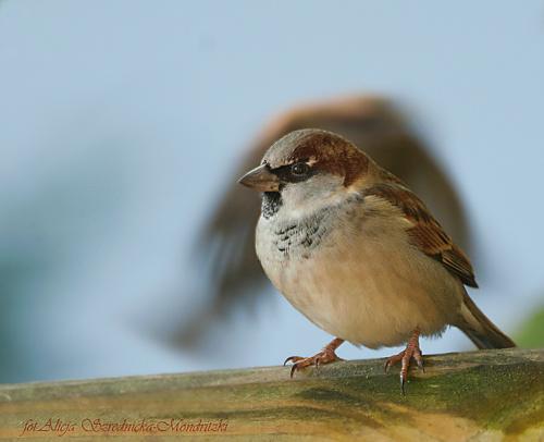 Wrobel.-z uciekajacym kumplem,- #ptaki #buchfink #zieby #kowaliki #bogatki #natura #przyroda