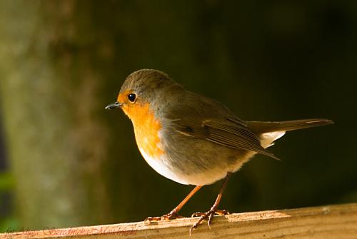Rudzil,- #ptaki #rudziki #zieby #ogrody