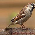 Wróbelek -Elemelek:- #modraszki #zieby #ptaki #natura #przyroda