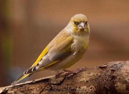 Dwoniec:- #dzwonce #modraszki #zieby #ptaki #natura #przyroda