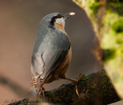 Kowalik #dzwonce #modraszki #zieby #ptaki #natura #przyroda