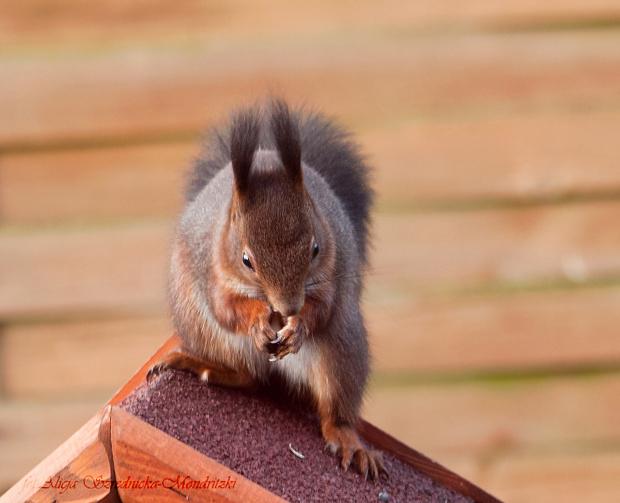 wiewiórek co raz to wiecej ... #wiewiórki #zwierzeta #natura