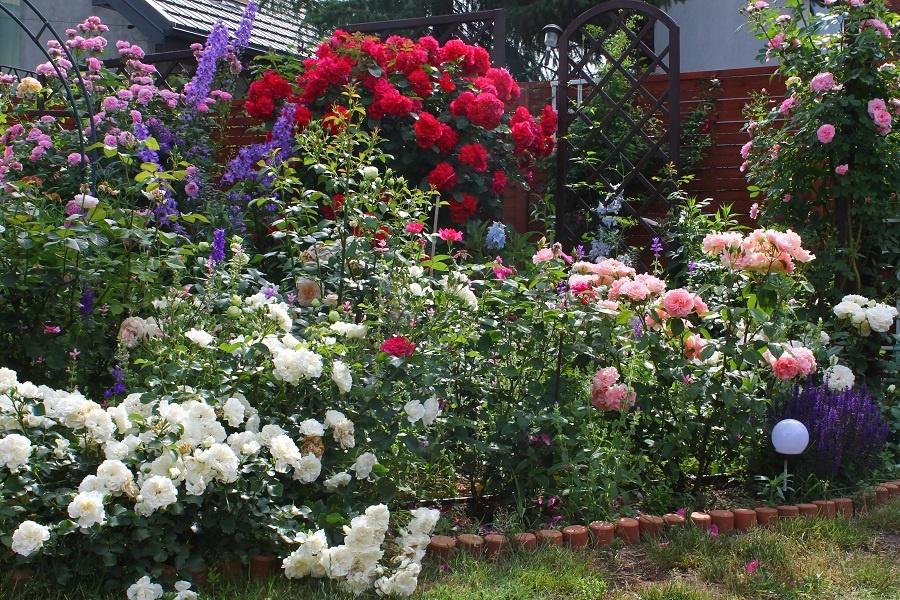 Zobacz wątek - Róże u Doroty - angielskie piękności w moim ogrodzie