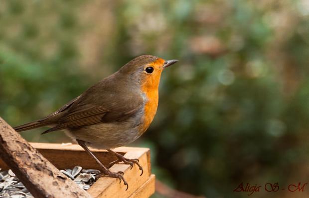 Rudzik.- #rudziki #ptaki #natura