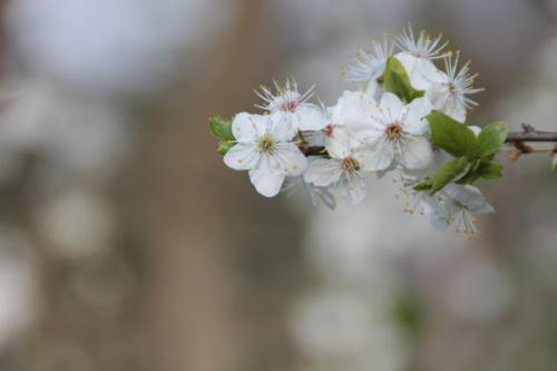 Cherry Blossom #Kwiaty #Cherry #Flowers #CherryBlossom #Nature #Wiśnia