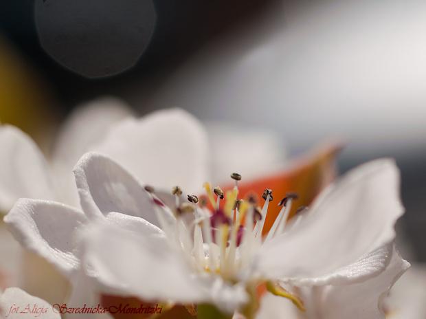 Wiosna 2020 ,Grusza -. #przyroda #ogrody #drzewa