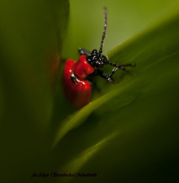 Szkodnik na liliach :( #owady #przyroda #ogrody #lilie