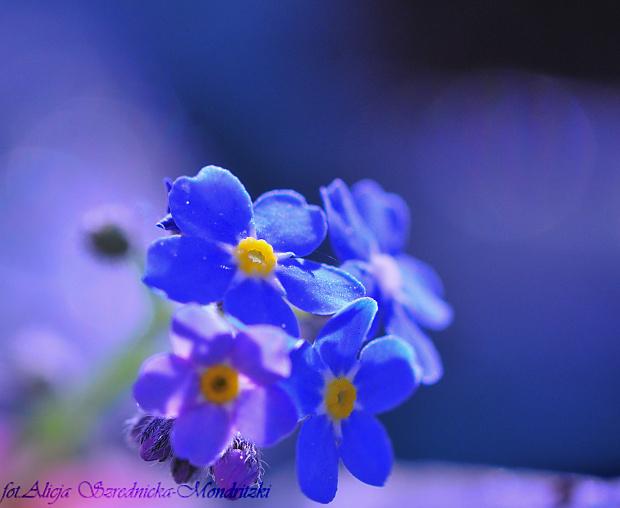 Niezapominajkiwiernie powracaja co roku.. #niezapominajki #kwiaty #ogrody #macro