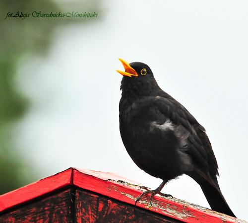 Kos u sasiada ,ale spiewal dla mnie...:)) #ptaki #kosy #ogrody #wiosna2020 #natura