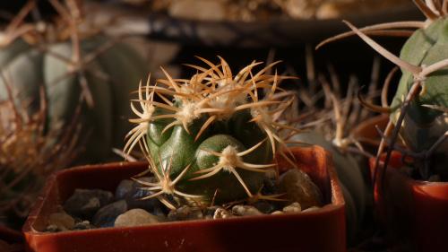 Discocactus petr-halfari aka D.bahiensis MH 725