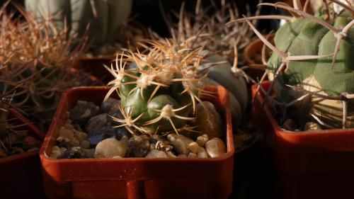 Discocactus petr-halfari aka D.bahiensis