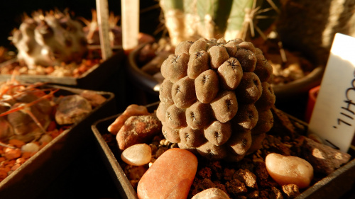 Neochilenia napina (Eriosyce napina)