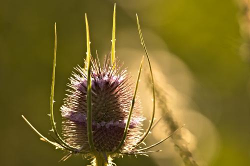 Kwiatostan Szczeci pospolitej