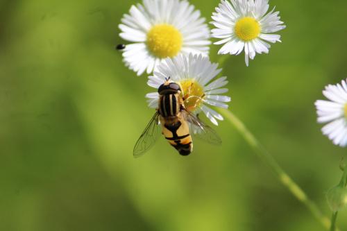 Owad podobny do pszczoły