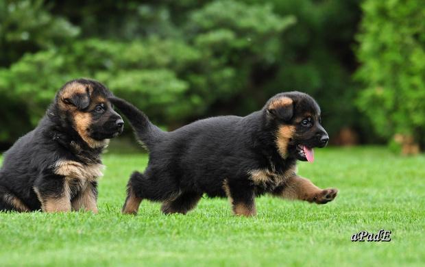 Maylo von Farhantal Puppies in Poland petworldglobal.com