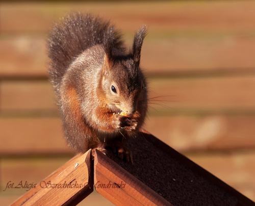 wiewiórka choc nie ptak tez cos zawsze znajdzie, a i do karmnika sie zmiesci, https://alicjaszrednickamondr.com/blog-2/, #wiewiórka #natura #zwierzeta #dokarmianie #zwierzat