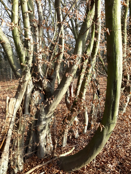 Krzytwe drzewa