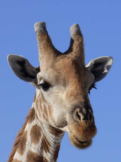 Pan żyrafa