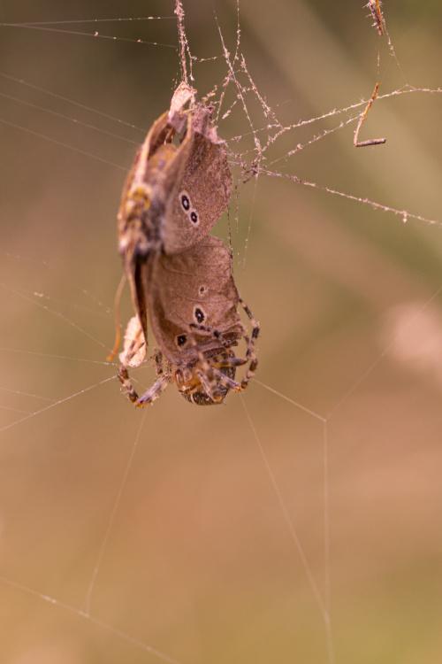 Ofiara i pająk