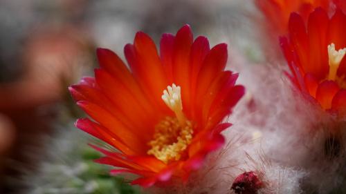 """Parodia chrysacanthion cv. """"Rubra Orange Flame"""""""