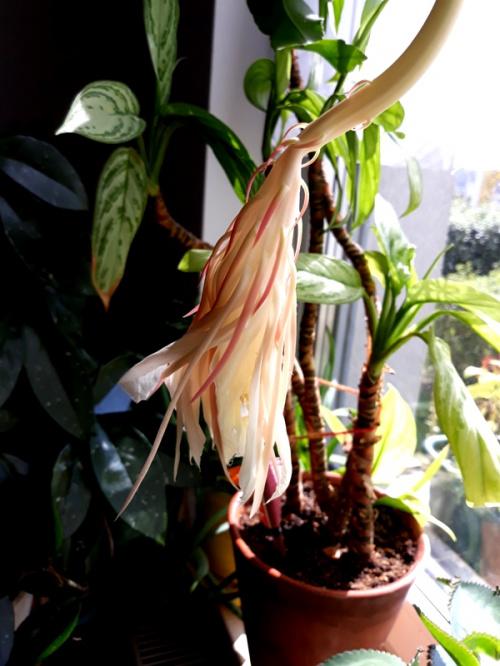 Queen of the Night Epiphyllum Oxypetalum