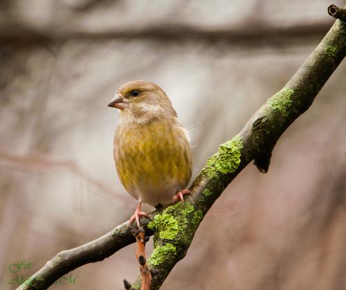 Zielona zięba:,- #rudzik #ptaki #ogrody #kosy #zima ,zięba,#alicjaszrednicka #NRW