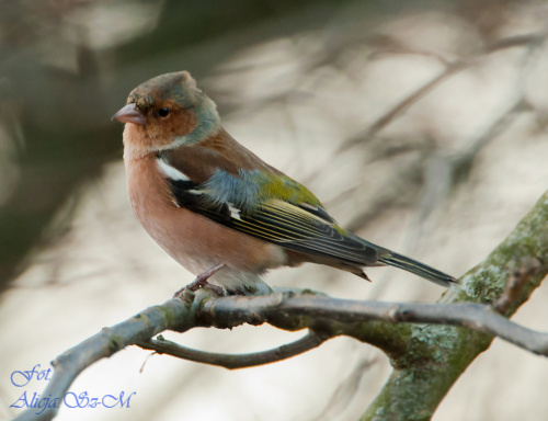 zieba.- #ptaki #natura #ogrody #zima #fotografia #alicjaszrednicka #zieba #buchfink